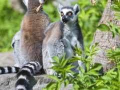 лемуры, zhivotnye, lemur