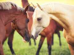 oir, лошадь