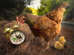 meme, ayam, kumpulan