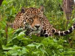 jaguar, ягуары, tropical