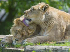 lion, resolution, uploaded