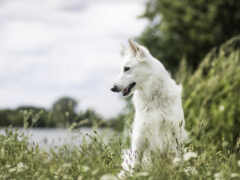 овчарка, white, собака