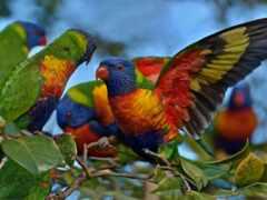 попугаи, птица, lori