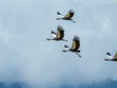 птица, crane, animal