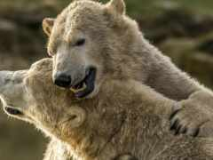 медведь, white, два