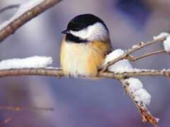 птичка, winter, branch