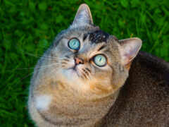 кот, глаз, domestic