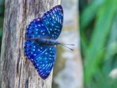 бабочка, blue, free