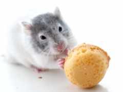 cookie, ест, крыса