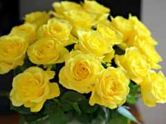 розы, желтые, букет