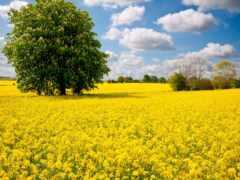 поле, дерево, весна