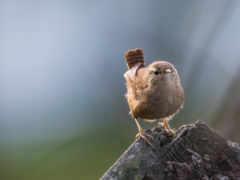 fauna, house, птица