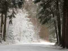 pine, fore, winter