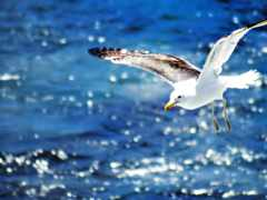 seagull, flying, water