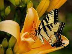 бабочка, лилии, black