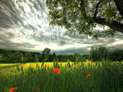 природа, поле, колоски