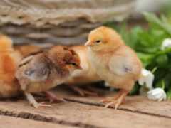 цыплята, zhivotnye, объявления