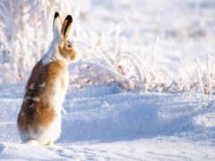 заяц, снег, winter