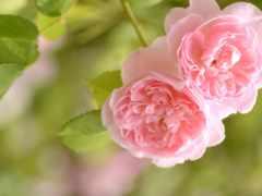 розовый, roses, нежность