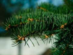 taiga, wikipediaboreal, conifer