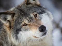 волк, серый, взгляд