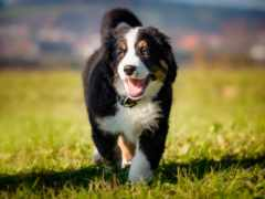 bernese, cane, del