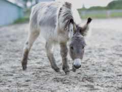 donkey, шрэк, tapety