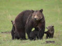 grizzly, медведь, таблице