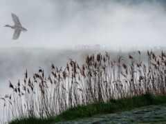 утка, озеро, туман