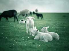 sheep, funart, cow