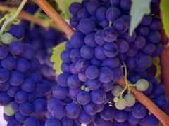 плоды, purple, free