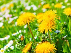 одуванчик, цветы, yellow