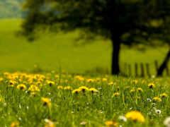 одуванчик, поле, трава