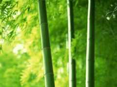 бамбук, бамбуковые, листва