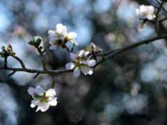 белые цветочки, весна