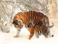 тигр, tigrar, tigern
