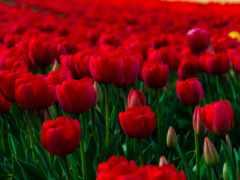 тюльпаны, поле, красные
