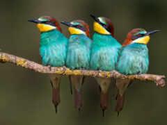 animau, les, птица
