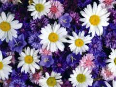 цветы, лепесток, ромашка