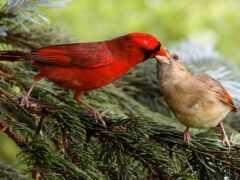 птица, animal, кардинал
