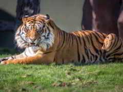 оскал, клыки, тигр
