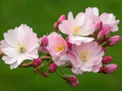 цветы, cherry, камелия