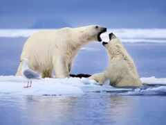 медведь, oir, arctic