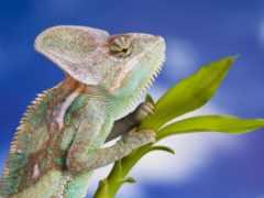 chameleon, free, фон