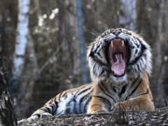 тигр, природа, зверь