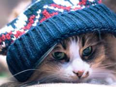 кот, шапке, лежит