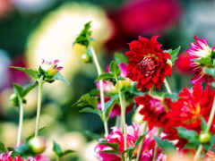 asteracea, wikipediaasteracea, daisy