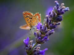 lavender, тв, servilleta