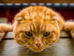 кот, red, лапа