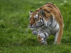 тигр, трава, прогулка